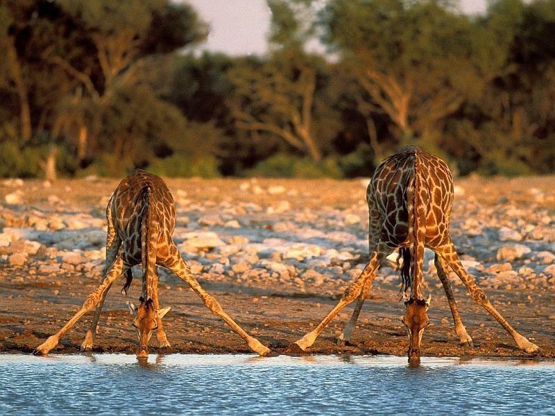 Giraffes drinking from the waterhole in Etosha | Mietwagen Windhoek